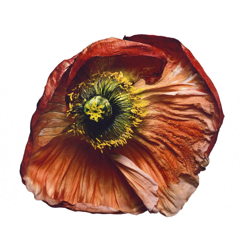 "Ирвин Пенн ""Iceland Poppy"""